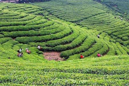 杏山竹叶青种植园利用农产品追溯系统助力茶园生态建设